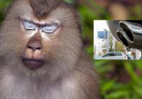 10 monkeys in gas chamber experienced VW diesel cheating firsthand