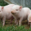China to be No. 1 market for Mexican pig farmers